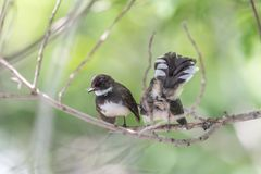 Two birds (Malaysian Pied Fantail) in nature wild. Two birds (Malaysian Pied Fantail, Rhipidura javanica) black and white color are couple, friends or brethren stock image