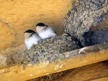 Two birds in nest Royalty Free Stock Images