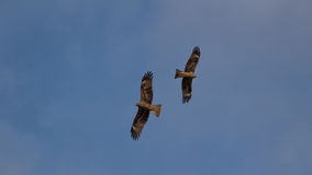 Two birds. A pair of birds in the clear blue sky above Pokhara Stock Photography