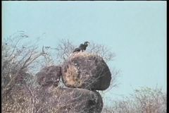 Two birds perched on a rock in Africa stock video