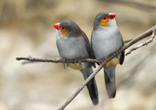 Two Birds. Perched on a twig, orange cheeked Waxbill Royalty Free Stock Image