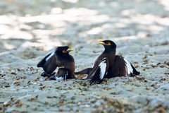 Two birds fighting Royalty Free Stock Image