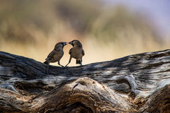 Two birds playing Royalty Free Stock Photo