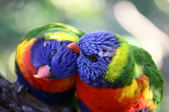 Two birds preening each others feathers. Two colourful wild birds on a tree branch preening each others feathers on the Great North track in Australia Royalty Free Stock Photo