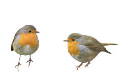 Two birds Robins in different poses Stock Image