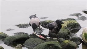 Two Birds Sharing Eating Fish. Two bird eating shared fish on the rocks at the sea stock footage