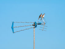 Two Birds Sitting on the Antenna. Two Pycnonotidae Birds Sitting on the Antenna Royalty Free Stock Images