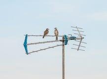 Two Birds Sitting on the Antenna. Pycnonotidae or Bulbul Birds is sitting on the Antenna royalty free stock photo