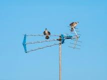Two Birds Sitting on the Antenna. Pycnonotidae or Bulbul Birds is sitting on the Antenna stock photo