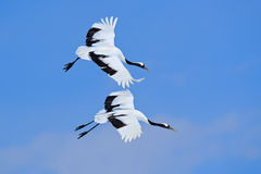 Two birds on the sky. Flying White two birds Red-crowned crane, Grus japonensis, with open wing, blue sky with white clouds in bac stock images