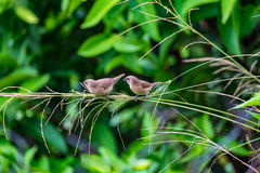 Two birds on small branch. Close focus of two birds are feeding on small branch royalty free stock images