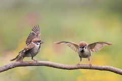 Two birds Sparrow waving feathers and wings on a branch. In summer Park royalty free stock photo