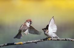 Two birds sparrows on a branch in a sunny spring garden flapping their wings and beaks. Two funny birds sparrows on a branch in a sunny spring garden flapping royalty free stock images