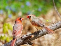 Two birds in spring courtship ritual. Male and female northern cardinal in spring courtship. Female received seed from male royalty free stock images