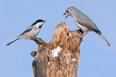 Two Birds On A Stump Royalty Free Stock Image