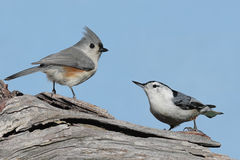 Two Birds On A Stump Stock Image