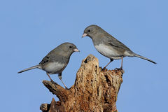 Two Birds On A Stump Royalty Free Stock Images