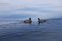 Two birds swimming to each other Stock Photos