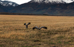 Two birds taking off from a field. In the mountains Stock Images
