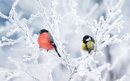 Two birds tit and bullfinch sit on branches covered with white snow in a winter Park
