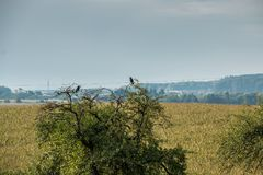 Two birds on a tree. Two crows on a tree on the field Royalty Free Stock Photos