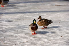 Two-birds-walking-on ice Stock Photos