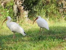 Two birds walking together. At the park in florida Royalty Free Stock Photos