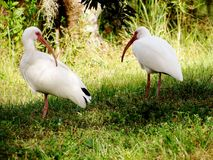 Two birds walking together. At the park in florida Stock Photos