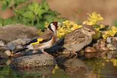 Two birds at water. Goldfinch and sparrow came together in water and drink the Royalty Free Stock Photography
