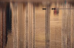 Two birds on water surface of city lake stock photography