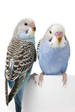 Two birds are on a white background Royalty Free Stock Photography