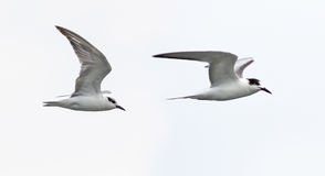 Two birds on the white background. Stock Image