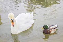 Two birds, a white Swan and a duck swim in the pond, in the zoo Royalty Free Stock Photo
