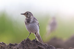 Two birds white wagtail with sunny hotspot Stock Photos