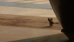 Two birds wrestling. A tracking shot of two small birds wrestling on the ground outside a temple stock footage
