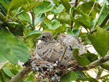 Two birds, Zebra dove, in their nest. Royalty Free Stock Photography