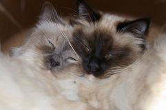 Two birman cat brothers. A blue point and a teal point Birman cats, also known as the Sacred Cat of Burma half asleep with each other as a pillow Royalty Free Stock Image
