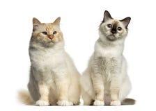 Two Birman cats sitting Stock Photo