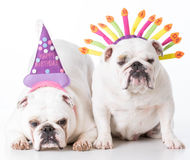 Two birthday dogs Royalty Free Stock Photography