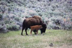 Two bison Royalty Free Stock Image