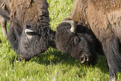 Two Bison Bulls play at fighting. Stock Photography