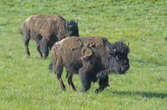 Two Bison Bulls running in grasslands. Two Bison Bulls running with the herd Royalty Free Stock Photos