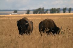 A pair of buffalo in the American prairies. Two bison in the center of the frame. Yellow grass. Gray-blue sky. Green trees in the distance. The buffalo looks at Stock Photography