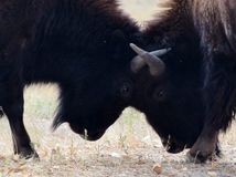 Two bison fighting Stock Image