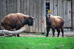 Two bison. Stock Photos