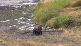 Two Bison Sparring. A pair of bison sparring in yellowstone national park stock video footage