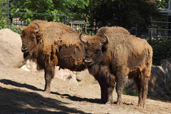 Two bison Stock Images