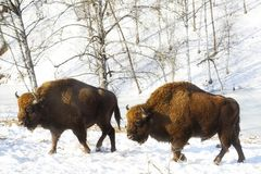 Two bisons Royalty Free Stock Photos