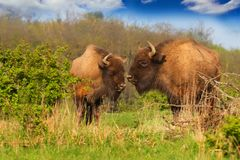 Two bisons in grass-land in nature Royalty Free Stock Photos