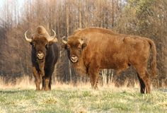 Two bisons Royalty Free Stock Photo